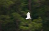 Blurred Egret