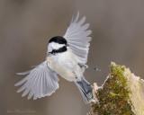 Oiseaux du Québec  Birds of Quebec