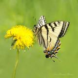 Papillon tigré du Canada - Papilio canadensis (FEMALE)