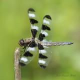 Libellula pulchella (male)