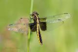 Libellula luctuosa (female)