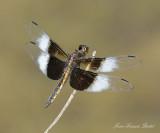 Libellula luctuosa  (immature male)