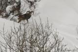 Muflone (Ovis orientalis musimon)