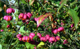 Spindle Tree ~ Euonymus