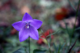 a solitary harebell