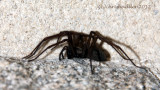 Tegenaria duellica - common house spider - female and completely harmless.