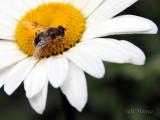 WIC #118 - Daisy & Hoverfly