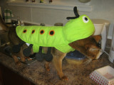 Halloween 2011 - Finn is a centipede in honour of all the slugs and caterpillars he eats each summer
