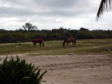 Horses eating garbage