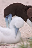 Fou brun (Brown Booby)