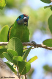Psittacule double-oeil (Double-eyed Fig-Parrot)