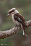 Martin-chasseur géant (Laughing Kookaburra)