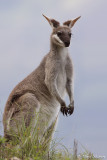 Wallaby de Parry (Whiptail Wallaby)