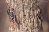 Grimpereau brun (Île des Soeurs, 23 mars 2012)