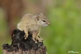 Écureuil à pieds jaunes (Parc Kruger, 18 novembre 2007)