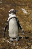 Manchot du Cap, African Penguin (Cape Town, 2 novembre 2007)