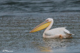 Pélican blanc, Great White Pelican (Langebaan, 8 novembre 2007)