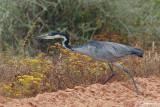Héron mélanocéphale, Black-headed Heron (Langebaan, 7 novembre 2007)