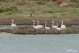 Flamant rose, Greater Flamingo (Langebaan, 7 novembre 2007)
