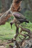 Ibis hagedash, Hadeda Ibis (Réserve Mkhuze, 14 novembre 2007)