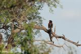 Bateleur des savanes, Bateleur (Parc Kruger, 18 novembre 2007)