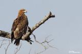 Aigle ravisseur, Tawny Eagle (Parc Kruger, 18 novembre 2007)