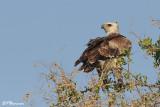 Aigle martial, Martial Eagle (Parc Kruger, 18 novembre 2007)