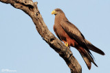 Milan d'Afrique, Yellow-billed Kite (Parc Kruger, 20 novembre 2007)