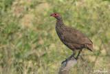 Francolin de Swainson, Swainson's Francolin (Parc Kruger, 19 novembre 2007 )