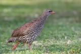 Francolin du Natal, Natal Francolin (Parc Kruger, 20 novembre 2007)
