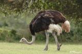 Autruche d'Afrique, Common Ostrich (Réserve de Hoop, 4 novembre 2007)