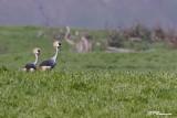 Grue royale, Grey crowned Crane  (Underberg, 9 novembre 2007)