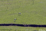 Grue caronculé, Wattled Crane (Underberg, 10 novembre 2007)