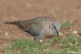 Tourterelle pleureuse, African Mourning Dove (Parc Kruger, 19 novembre 2007)