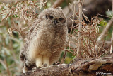 Grand-duc africain, Spotted Eagle-Owl (Cape Town, 3 novembre 2007)