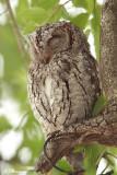 Petit-duc africain, African Scops-Owl (Parc Kruger, 21 novembre 2007)