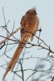 Coliou rayé, Speckled Mousebird (Underberg 10 novembre 2007)