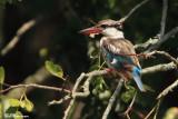 Martin-chasseur strié, Striped Kingfisher (Réserve Mkhuze, 14 novembre 2007)