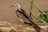 Calao à bec rouge, Red-billed Hornbill (Parc Kruger, 19 novembre 2007)