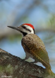 Pic barbu, Bearded Woodpecker (Parc Kruger, 19 novembre 2007)