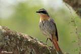 Cossyphe du Cap, Cape Robin-Chat (Overberg, 5 novembre 2007)