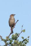 Cisticole striée, Croaking Cisticola (Parc Kruger, 19 novembre 2007)