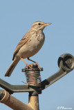 Pipit africain, African Pipit (Underberg,10 novembre 2007)