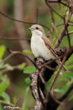Pie-grièche écorcheur, Red-backed Shrike  (Parc Kruger, 18 novembre 2007)