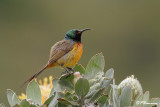 Souimanga orangé, Orange-Breasted Sunbird (Cape Town, 3 novembre 2007)