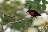 Souimanga à poitrine rouge, Scarlet-chested Sunbird (Parc Kruger, 21 novembre 2007)