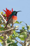 Souimanga à plastron rouge, Greater Double-collared Sunbird   (Overberg, 5 novembre 2007)