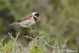 Moineau mélanure, Cape Sparrow (Réserve de Hoop, 4 novembre 2007)