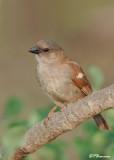 Moineau sud-africain, Southern Grey-headed Sparrow (Parc Kruger,20 novembre 2007)