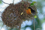 Tisserin bicolore, Dark-backed Weaver (Eshowe,11 novembre 2007)